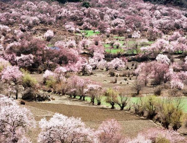 Peach-Blossom-Festival
