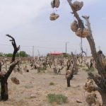 باغ سنگی,باغ سنگی سیرجان,باغ سنگی سیرجان در کرمان