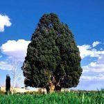 سرو ابرکوه – قدیمی ترین درخت جهان