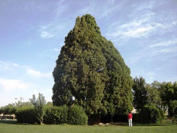 آدرس سرو ابرکوه,اثر طبیعی ملی سرو ابرکوه,درخت سرو ابرکوه