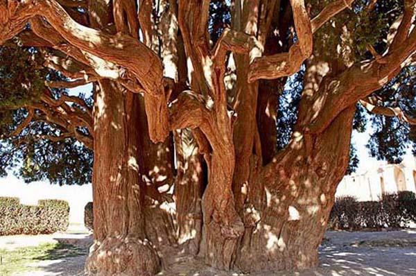 cypress-5