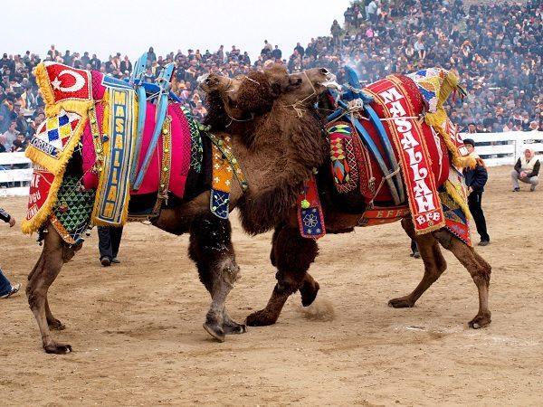 kusadasi-camel-wrestling-festival