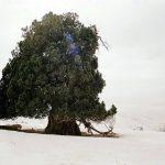 آدرسدرخت ارس شهرستانک,درخت ارس در شهرستانک,درخت ارس شهرستانک