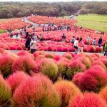 آدرس پارک ساحلی هیتاچی,پارک زیبای هیتاچی در ژاپن,پارک ساحلی هیتاچی